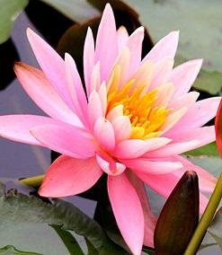 Водяные лилии (нимфеи)